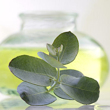 EucalyptusEucalyptus GlobulusPurifying • Antiseptic • Helps to relieve fatigue • Anti-inflammatory